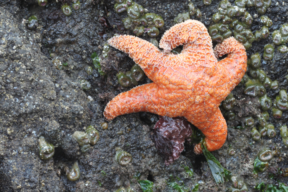 Meet Cutie Pie Sea Star (they used to be called Starfish)